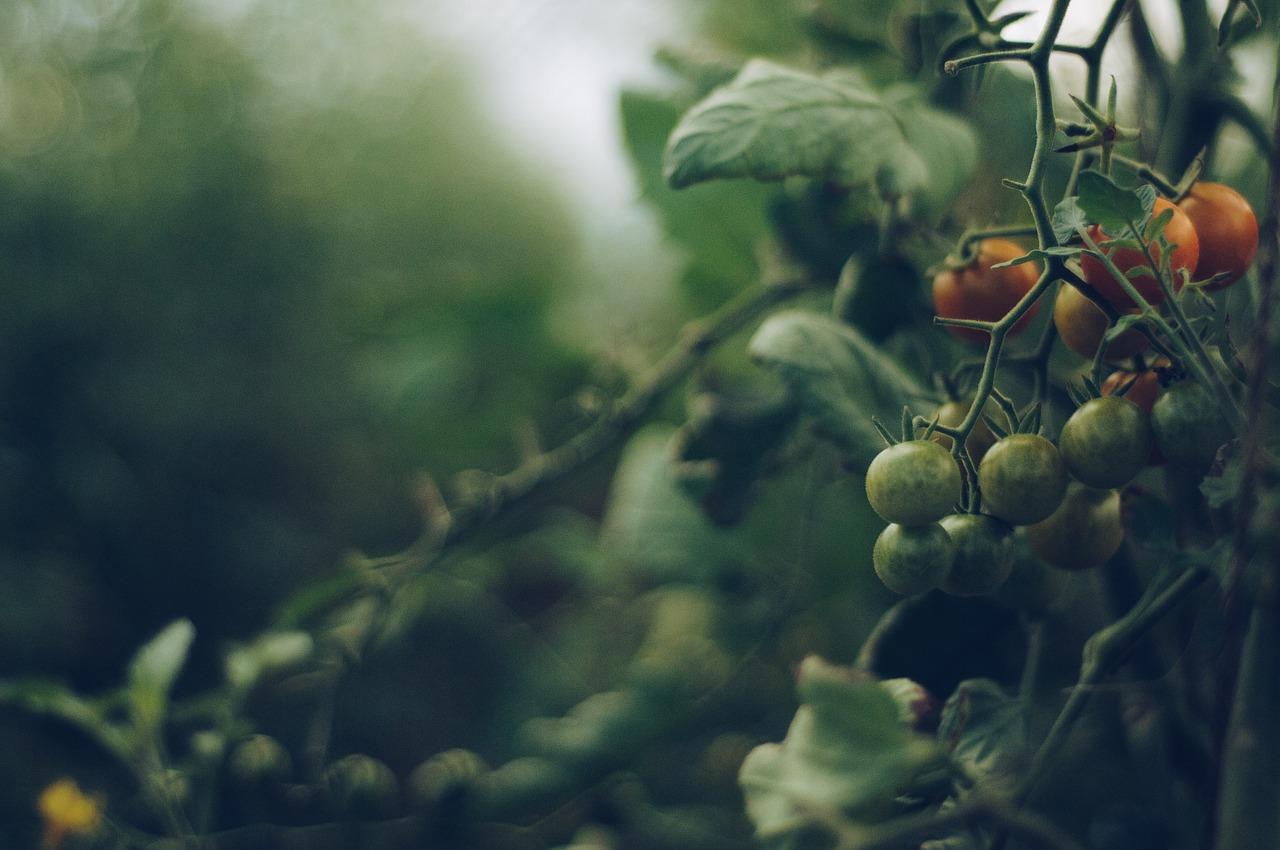 Spotlight on Tomatoes: Garbanzo Beans in Tomato-Yogurt Curry
