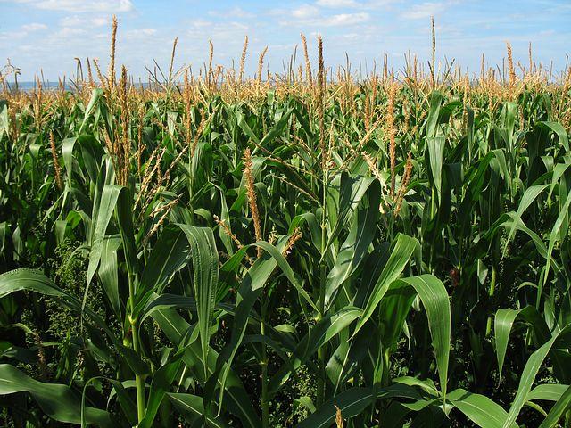 Spotlight on Corn: Barley Corn Salad